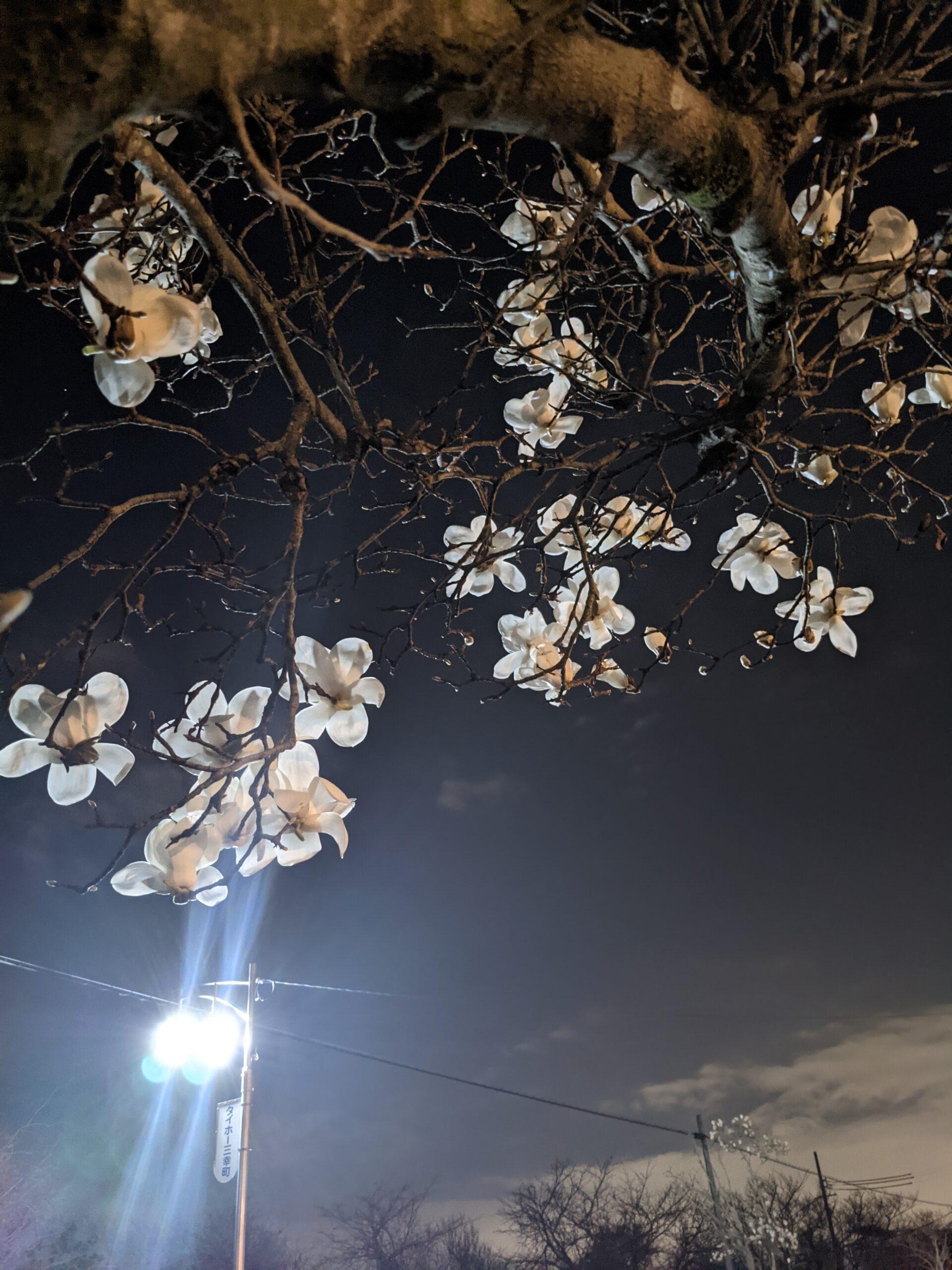 木蓮(モクレン)が咲きました。